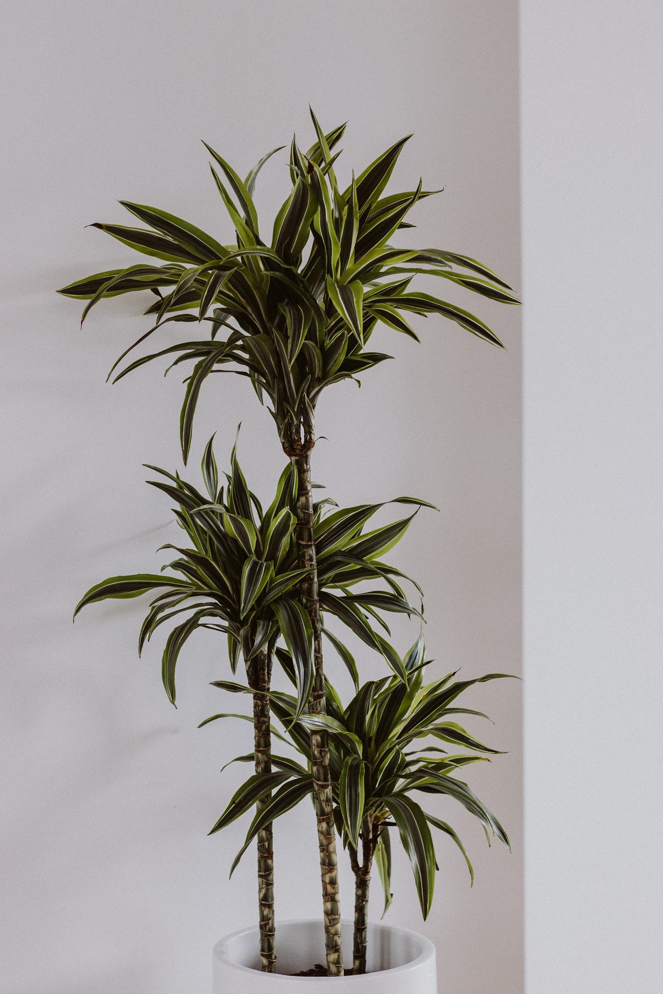 The Daily Dose Pflanzenpflege Yucca Palme